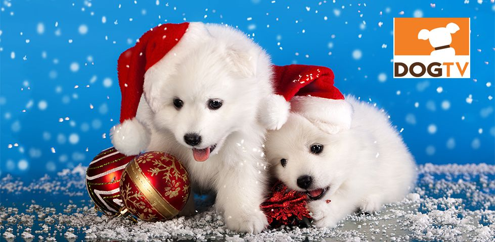 Two white puppies laying with Christmas ornaments