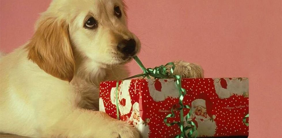Golden puppy chewing on ribbon from a Christmas present